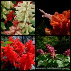 Salvia splendens x 1 Bonfire Red Scarlet Sage Flowering Cottage Garden Plants Flowers Border Pot Balcony Patio Shrubs