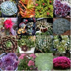 Succulents x 110 Cuttings 30 Types NO Pots Hardy Garden Plants Groundcover Container Wedding favour Gifts Bonbonnieres