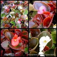 Begonia semperflorens x 15 - Mixed Pack - Succulents Plants Flowering Hardy Shade Rockery Pots Perennial Cottage Garden