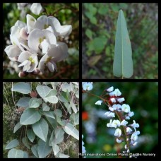 Hardenbergia alba White x 1 Flower Coral Pea Bush Groundcover Hardy Native Plants violacea Shrubs