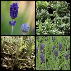 Lavender Munstead x 1 English Herbs Cottage Garden Scented Blue Flowering Bush Shrubs Plants Lavandula angustifolia