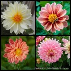 Dahlia x 1 - Early Bird Mix Dwarf - Flowering Plants Shrubs Colourful Cottage Garden Border Pots Evergreen Perennial variabilis