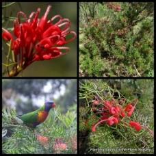 Grevillea John Evans x 1 Australian Native Garden Plants Shrubs Bush Red Flowering Hedge Hardy Drought Frost Bird Attracting hybrid baueri rosmarinifolia nana