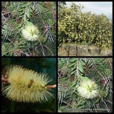 White Willow Bottlebrush x 1 Callistemon salignus Native Hardy Plant Bottle Brush