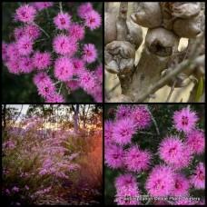 Melaleuca Violet Honey Myrtle x 5 Australian Native Shrubs Purple Pink Flowering Hedge Hardy Drought Frost Wilson's wilsonii