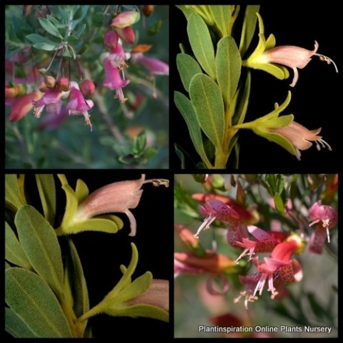 Eremophila Fairy Floss x 5 Emu Bush Native Shrubs Pink Flowers Hedging Bird Attracting Hardy Plants racemosa x maculata