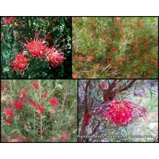 Grevillea Winpara Gem x 5 Plants Red Flowering Native Shrubs Hardy thelemanniana Hedging Screening Screen Hedge Border Rockery