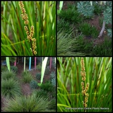 Lomandra Little Pal x 1 Dwarf Australian Native Grasses Water Pond Plants Cream Yellow Flowering Border Pots Shade Xeriscape Hardy Drought Frost Tough confertifolia