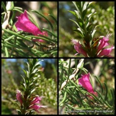 Eremophila alternifolia x 5 Wildberry Poverty Emu Bush Native Pink Flowering Hardy Shrubs Rockery Border hedging hedge plants x maculata