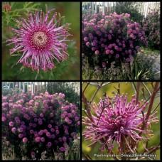 Rose Coneflower x 4 Isopogon formosus Native Erect Shrubs Pink Mauve Flowering Hardy Bush Plants Hedge Hedging Rockery Cottage garden Border