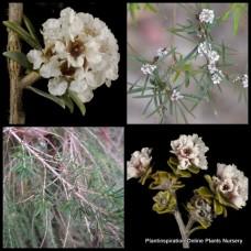 Fine Ti Tree Taxandria parviceps x 5 Agonis parviceps Hardy Flowering Native Plants Shrub Hardy Flowers Hedge Rockery Border