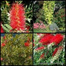 Bottlebrush Callistemon x 1 - Wildfire - Red Flowering Australian Native Plants Trees Shrubs Bush Hedge Bird Attracting Hardy Drought Tough