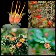 Darwinia citriodora Red/Orange/Yellow x 5 Plants Lemon Scented Myrtle Native shrubs Hedge Hedging Border Rockery Garden