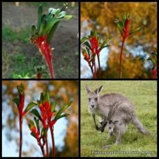 Kangaroo Paw x 4 Royal Cheer Plants Red & Green Anigozanthos Native Hardy Grass Grasses Paws Flowering Hybrid