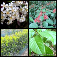 Sweet Viburnum odoratissimum x 1 Fragrant Flowering Hedging Screening Plants Evergreen White Flowers Trees Shrubs