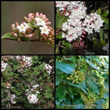 Viburnum x burkwoodii x 7 Burkwood Fragrant Flowers Hedge Screening Plants Burkwood Flowering Border Hedging Cottage Garden Shrubs