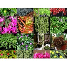 20 Different Hanging Basket Succulent Cuttings No Pots Drought Hardy Plant Succulents