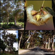 Eucalyptus cladocalyx nana x 5 Dwarf Bushy Sugar Gum Native Trees Cream Yellow Flowering Plants Evergreen Smooth Bark Bird Attracting Hardy Drought Frost Tough