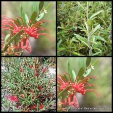 Grevillea x 1 - Poorinda Firebird - Grevillea speciosa x oleoides