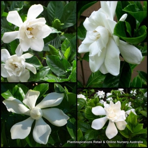 Gardenia Four Seasons x 5 Fragrant Scented White Flowering Shade Shrubs Plants Hedge Cottage Garden Pots Evergreen Hardy augusta