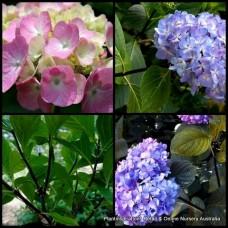 Hydrangea Black Stem x 1 Mophead Pink Blue Flowering Shade Shrubs Plants Bush Cottage Garden Pots Deciduous Hardy nigra