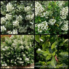 Escallonia Iveyi x 5 Evergreen  Tall Shrubs Plants White Flowering Hedge Border Cottage Garden Pots Bird Attracting Hardy Frost Hedging