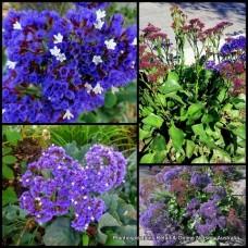 Sea Lavender x 5 Blue Everlasting Flowering Plants x 5 Statice Perez's Limonium perezii Blue Seas Hardy Cottage Garden Shrub Daisy Flowers Purple