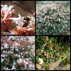 Abelia grandiflora nana x 1 Dwarf Hardy Glossy Shrubs Plants White Pink Flowering Hedge Topiary Bonsai