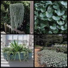 Dichondra argentea x 1 - Silver Falls - Cascading Groundcover Plants Flowering Evergreen Hardy Hanging Basket Rockery Pots Hardy Drought Frost Tough