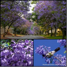 Blue Jacaranda x 7 Ornamental Tall Shade Trees Purple Mauve Flowering Deciduous mimosifolia