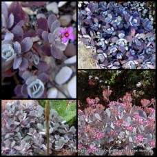 Kalanchoe pumila Quicksilver x 1 Silver Succulents Plants Pink Flowering Hanging basket Grey leaf Rockery Pot Mauve
