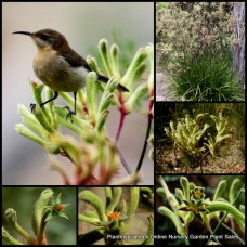 Kangaroo Paw Green Boomer x 1 Australian Native Shrubs Flowering Grasses Plants Paws Hardy Drought Anigozanthos flavidus Grass