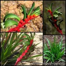 Kangaroo Paw Bush Games x 1 Native Plants Green Red Flowering Grasses Hardy Anigozanthos Paws