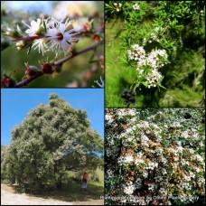Kunzea ericoides x 1 White Tea Tree Native Kanuka Plants Bird Attracting Rockery Border Pots Topiary Bonsai Hardy Drought Frost