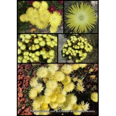 Pigface Light Yellow/Lemon x 1 Hardy Succulent flowering Groundcover Plants Hanging Basket Shrubs Pig Face Succulents lampranthus glaucus mesembryanthemum