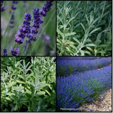 Lavender Blue Scent x 1 English Herbs Scented Purple Flowering Shrubs Bush Cottage Garden Hedge Border Rockery Evergreen Hardy Drought Frost Tough Lavandula angustifolia