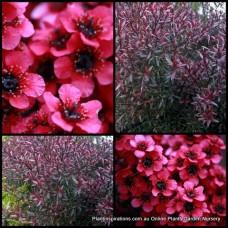 Leptospermum x 1 Dwarf Red Tea Tree Native Shrubs Plants Flowering Hedge Bird Attracting Hardy scoparium rubrum nanum
