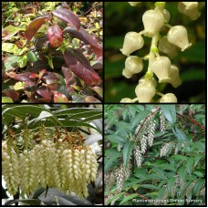 Fetterbush Dwarf x 1  Leucothoe fontanesiana nana Doghobble Drooping Laurel Hedge Shade Plants White Flowering Pots