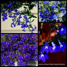Lobellia Riviera Blue Eyes plants x 1Cascading Groundcover Cottage Garden Hanging Basket, patio or Pots Lobelia erinus