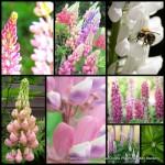 Lupine Tall Pastel Mix x 1 Flowering Wildflower Cottage Garden Plants Lupinus polyphyllus Border Container Pots Wild Flower lupin