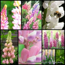 Lupine Tall Pastel Mix x 1 Flowering Wildflower Cottage Garden Plants Lupinus polyphyllus Border Container Pots Wild Flower lupin