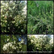 Melaleuca ericifolia Swamp Paperbark x 5 Plants Native Trees Shrubs Hedge White Flowering Hardy Drought Frost Resistant Screening Hedging Rockery