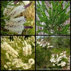 Melaleuca Chenille Honey Myrtle x 1 huegelii Australian Native Shrubs Bush White Flowering Bottlebrush Hedge Bird Attracting Hardy Drought Frost Tough