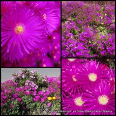 Pigface Purple x 1 Grey leaf Succulents Groundcover Hanging Baskets Rockery Lampranthus roseus plants Mesembryanthemum crystallinum Flowering Hardy