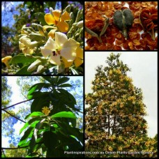 Native Frangipani x 1 Tall Native Shade Trees Scented flowering Plants Screening Hardy Yellow Hymenosporum flavum