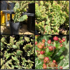 Joseph's Coat Cactus x 1 Variegated Succulents Red Flowering Hardy Drought Opuntia monacantha f. monstruosa variegata Maverick Cacti