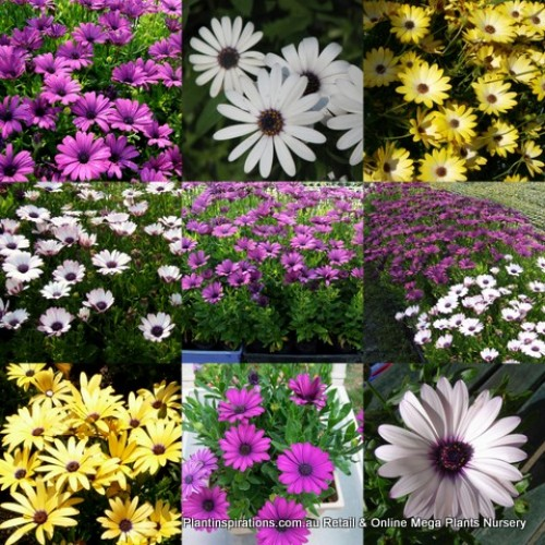 African Daisy - Mixed x 10 - Osteospermum ecklonis - Groundcover Plants Hardy Cottage Garden Rockery Border Shrubs Daisies Flowering