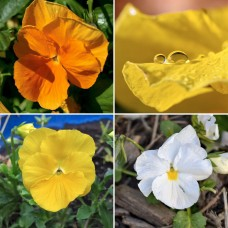 Pansy x 10 Delta Citrus Mix Flowering Edible Frost Shade Hanging Basket Cottage Garden Rockery Plants Viola x wittrockiana