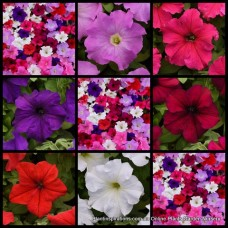 Petunia Super Cascade x 1 Plants Mixed Flowering Colors Cottage Garden Hanging Basket Groundcover Trailing Shrub