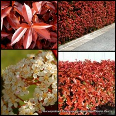 Photinia robusta x 1 Red Foliage Hedge Screening Plants Fast Growing Garden Shrubs/Trees Topiary Pots White Flowers fraseri